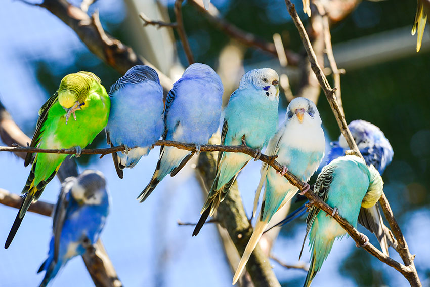 Budgie Colour Types | Varieties and Types | Budgie Guide | Guide ...