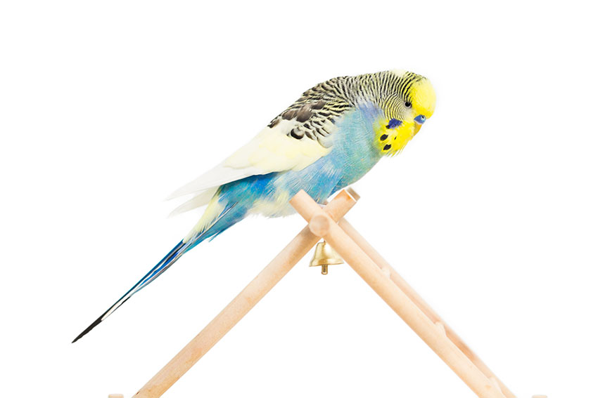 how to teach your budgie tricks