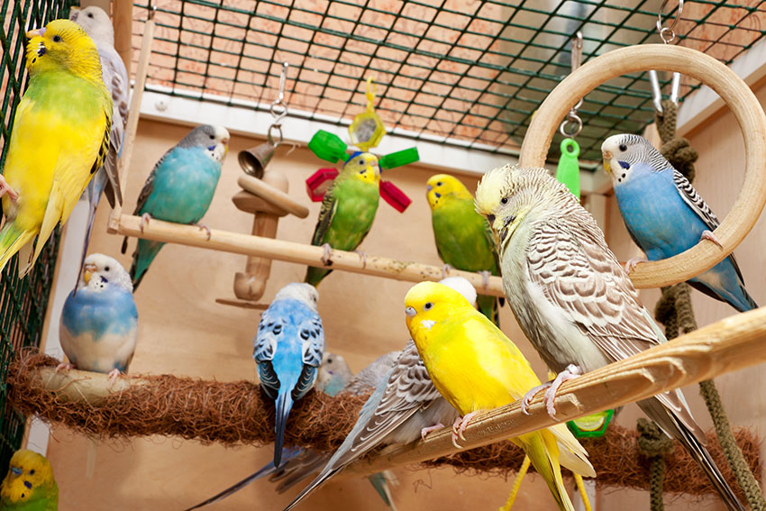 Budgie Cage Design Budgie Cages Budgie Guide Guide