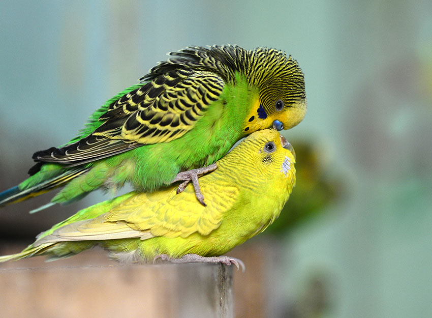 budgie courtship and breeding behaviour nesting and