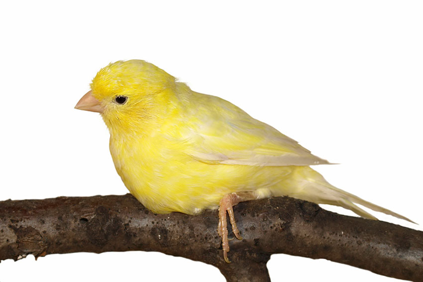 canary resting-on-branch