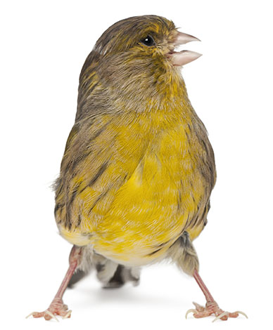 Angry Canary