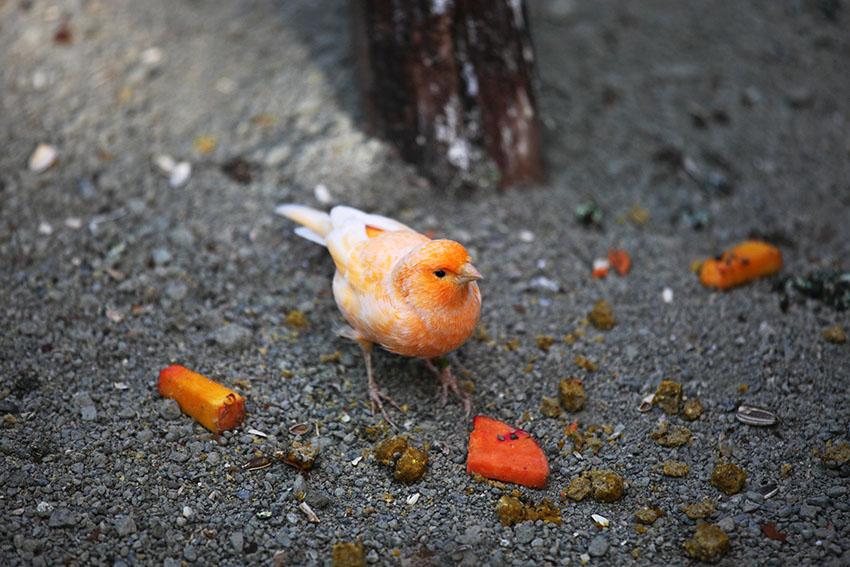 Canary feeding