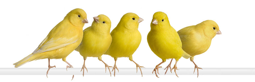 A flock of Canaries