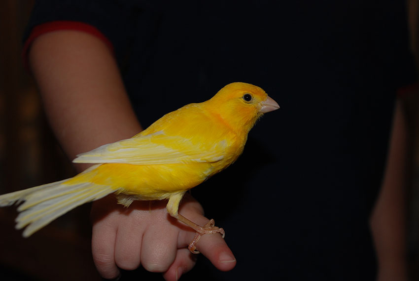 canary hand taming
