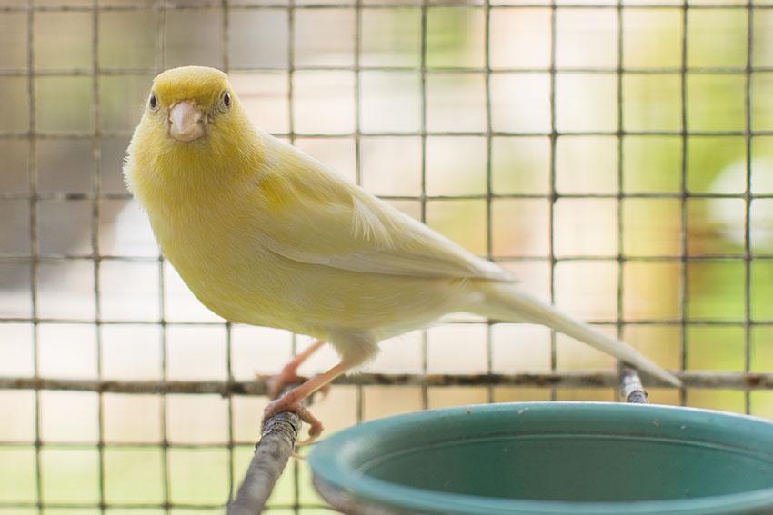 Canary kept outside