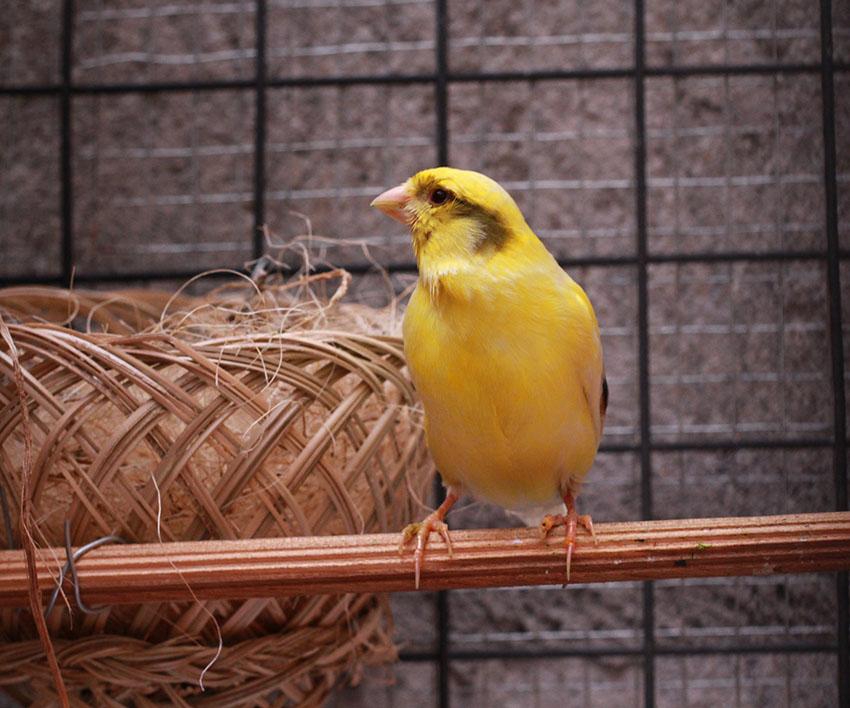 canary nesting