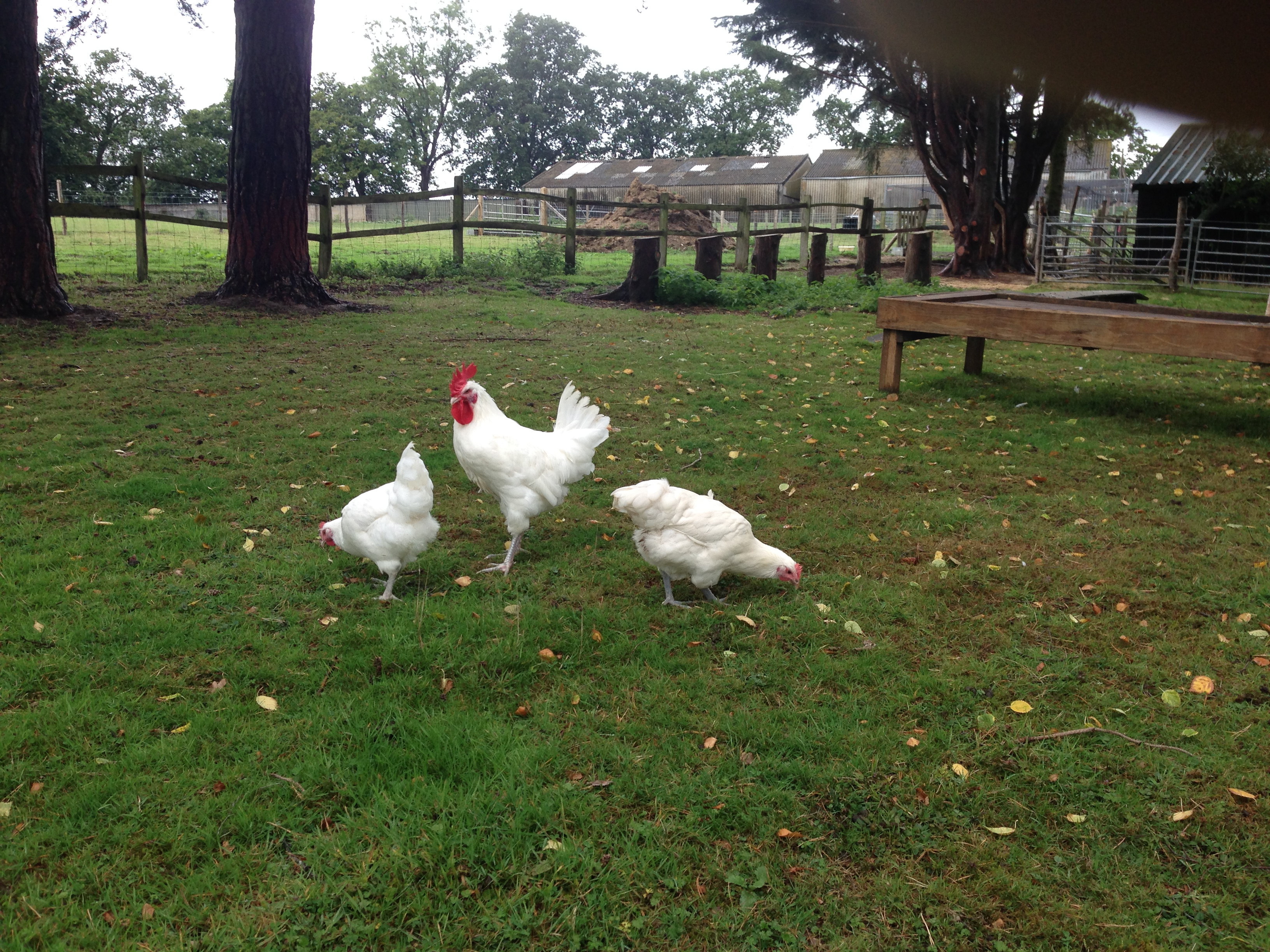 Choosing Your Chickens | Chickens | Guide | Omlet UK