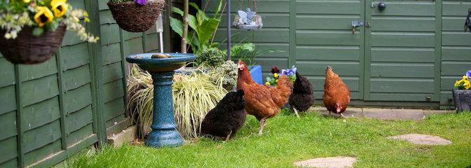 http://www.omlet.co.uk/images/originals/chickens_in_your_garden.jpg