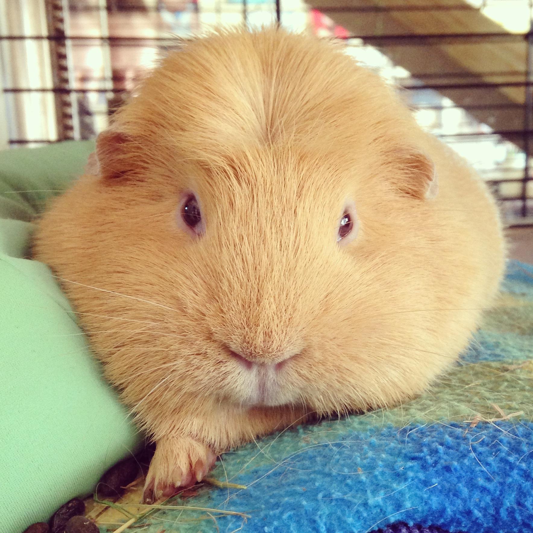 Crested guinea pig - photo#2