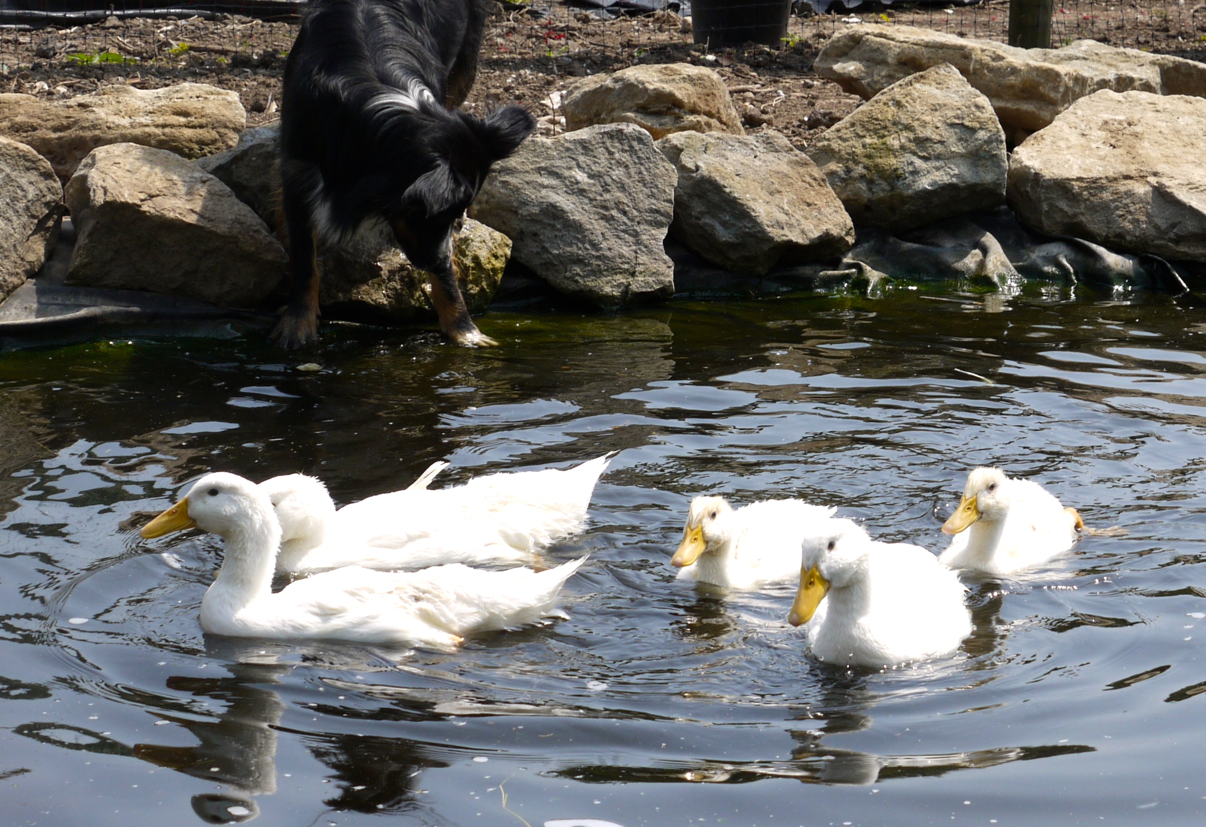 Ducks guide omlet uk for Duck pond filtration