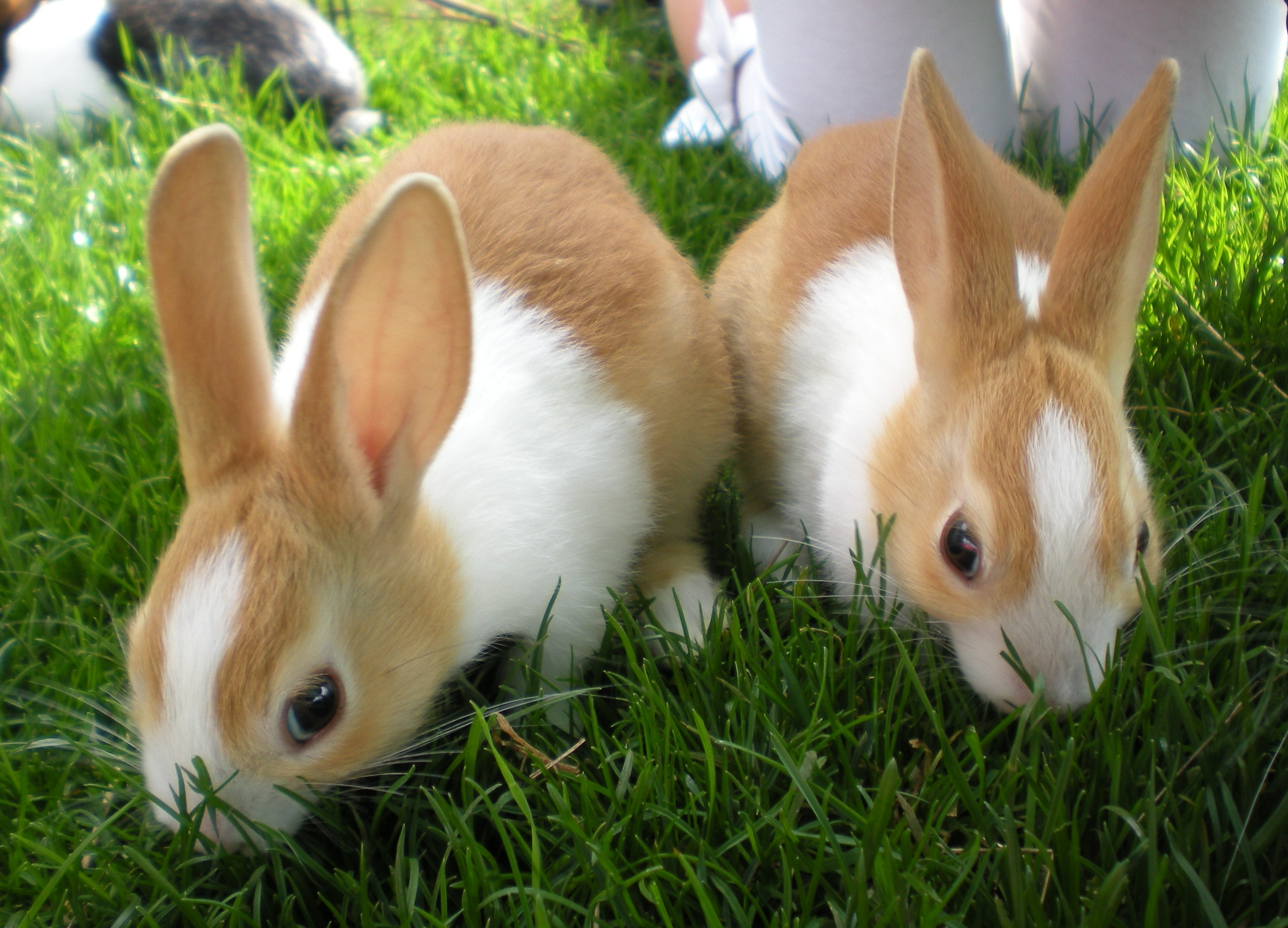Dutch For Sale Rabbits Breed Information Omlet