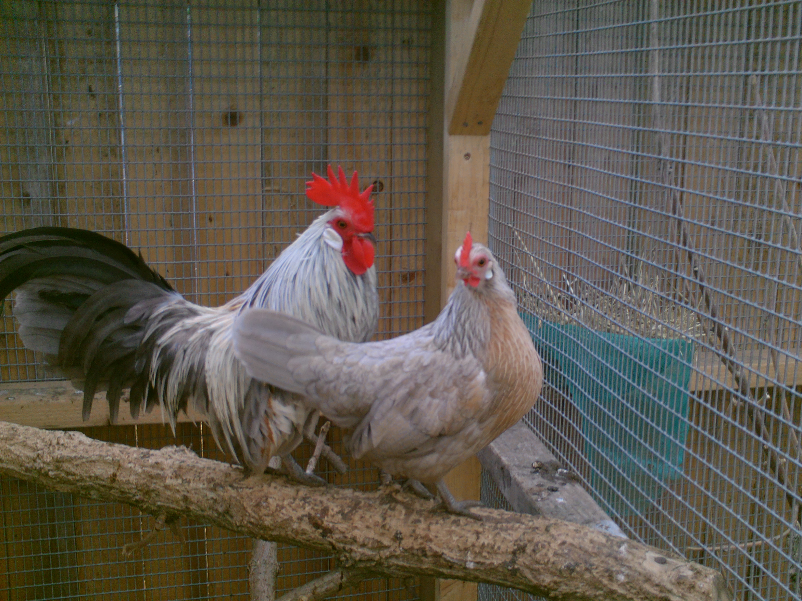 how to keep bantam chickens