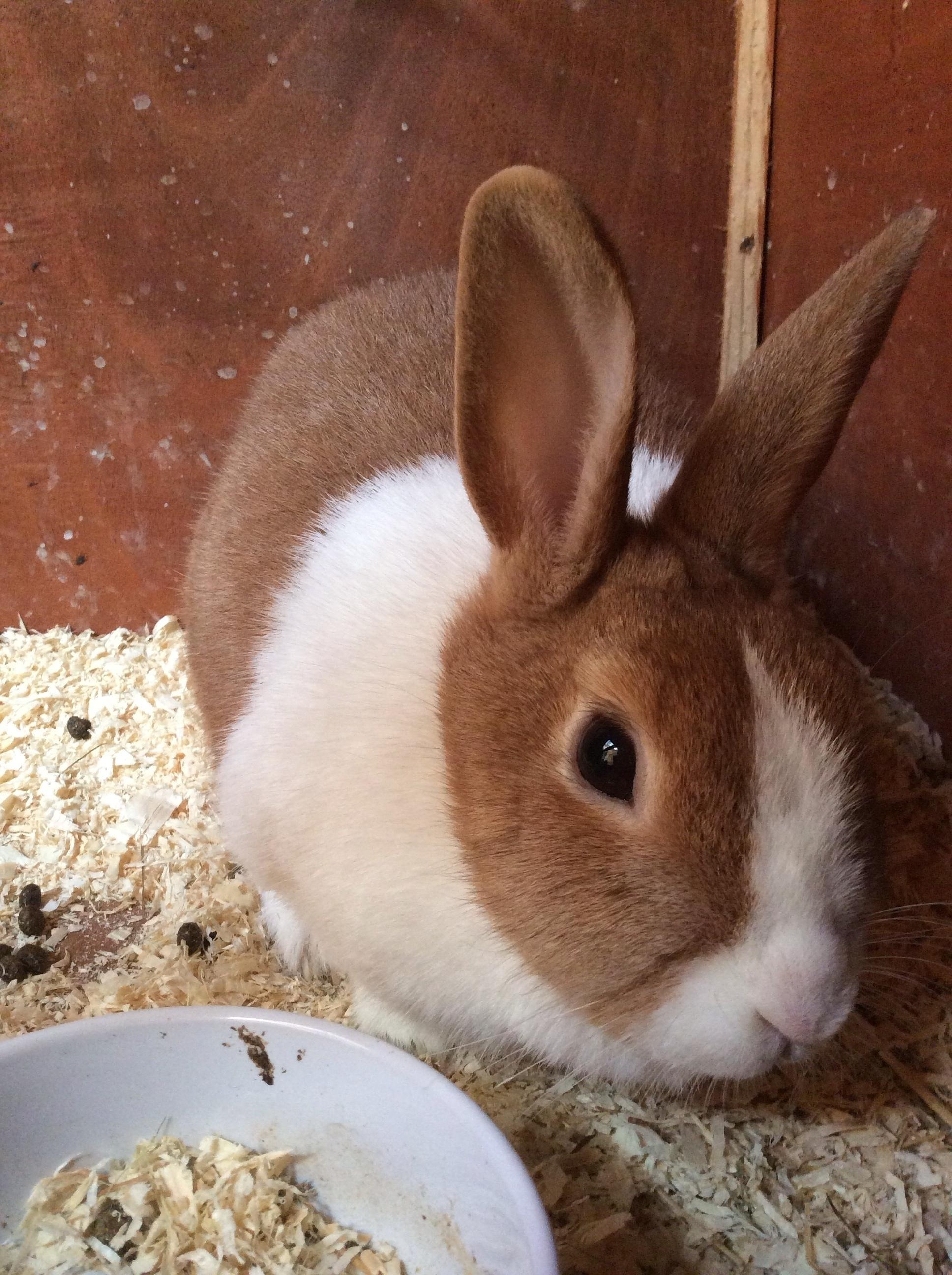Dutch For Sale Rabbits Breed Information Omlet