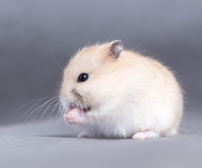 Dwarf hamster varieties