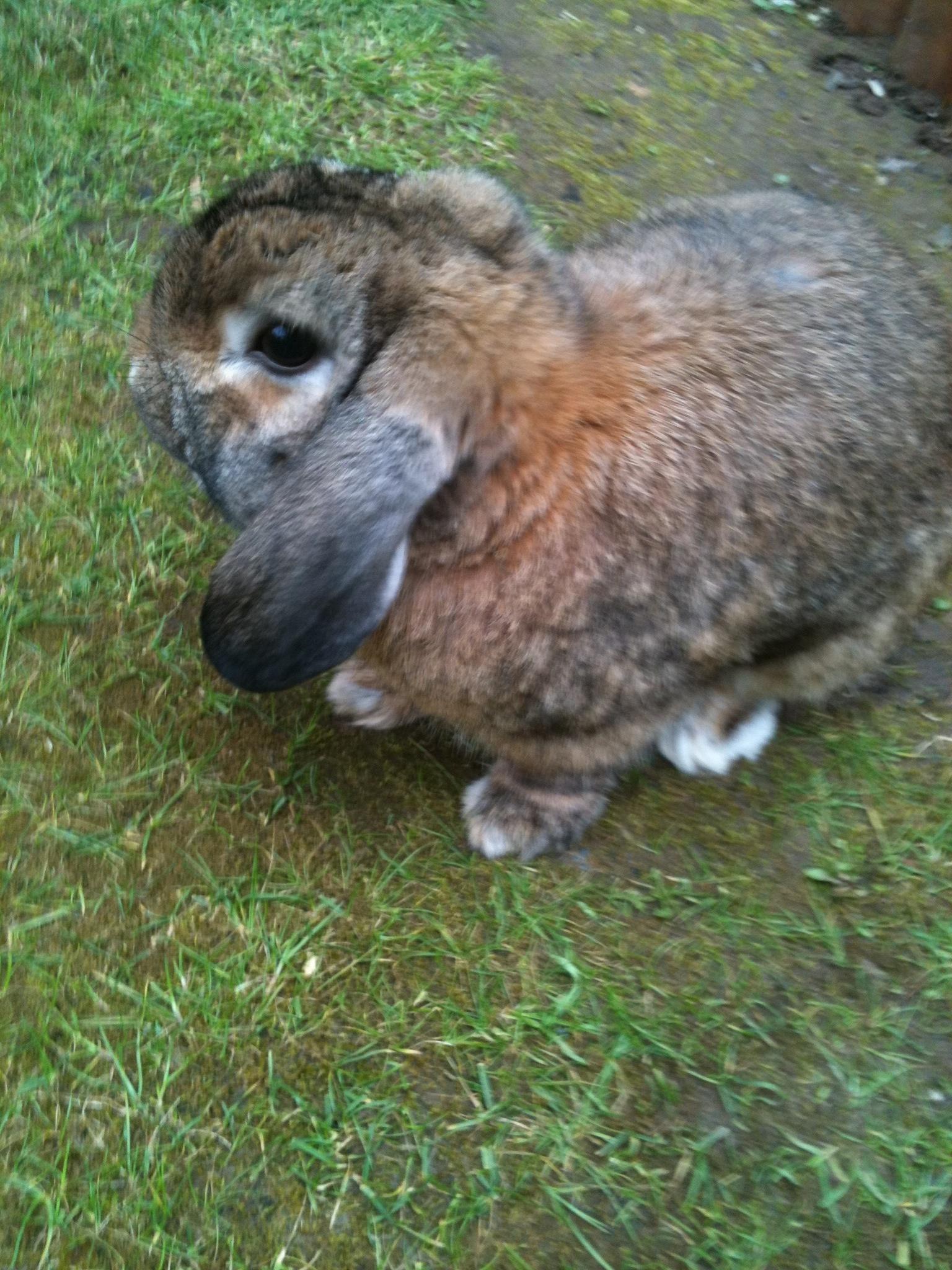 Dwarf lop rabbits - photo#51
