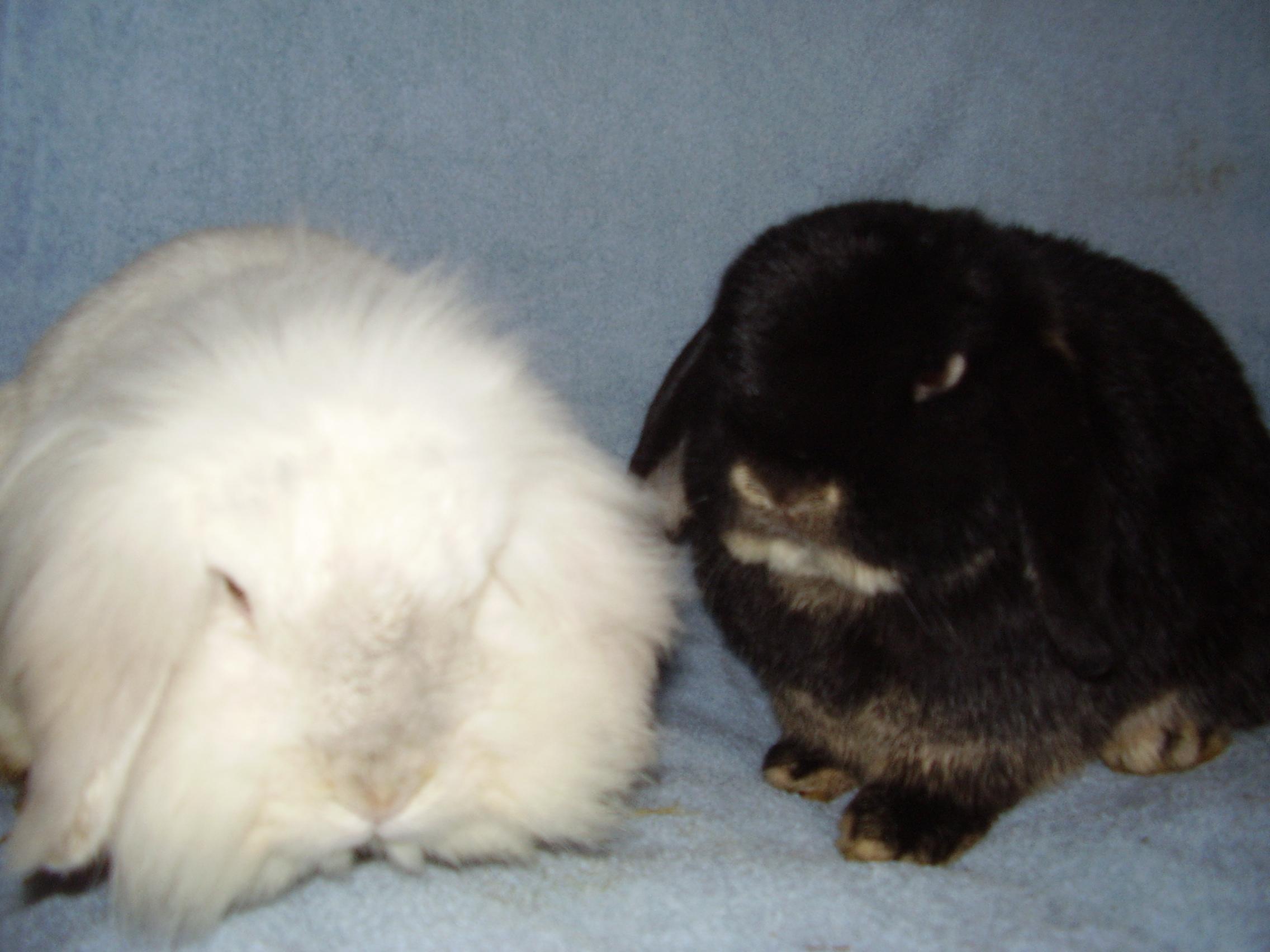 Dwarf lop rabbits - photo#40