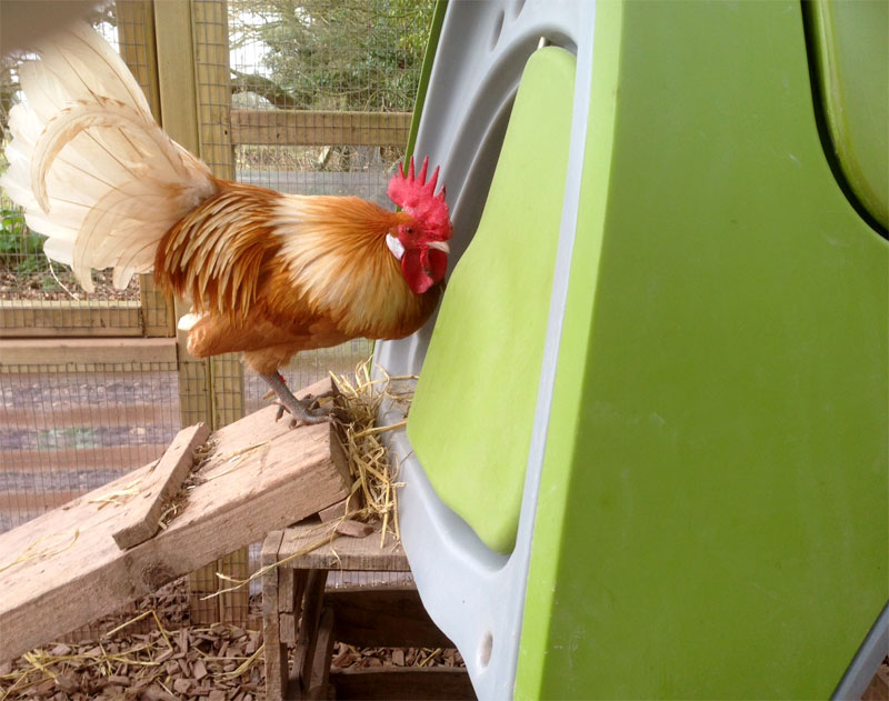 Stephanie Croft's wonderful Friesian Cockerel entering his Eglu Classic Chicken Coop