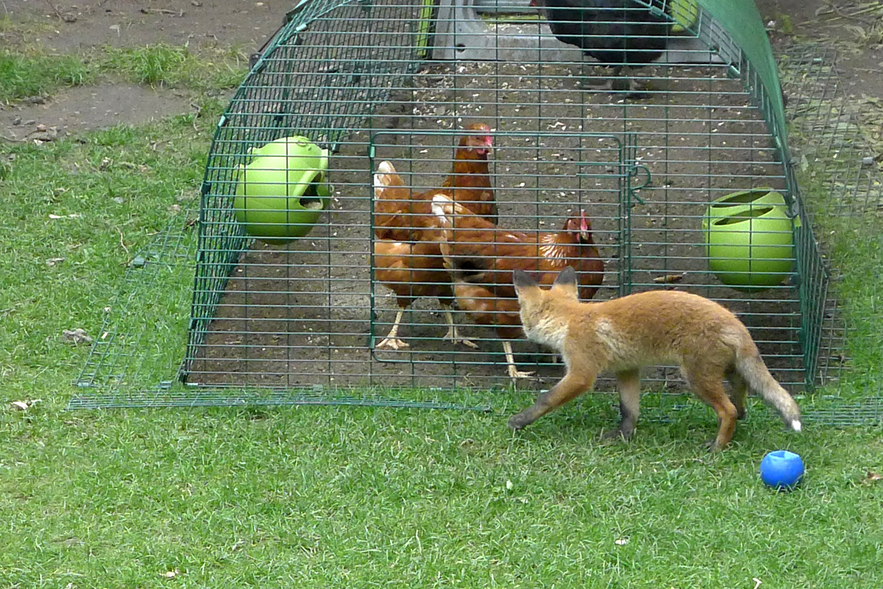 Lisa Thomas' Eglu Classic and Run keeps her chickens safe and foxes at bay
