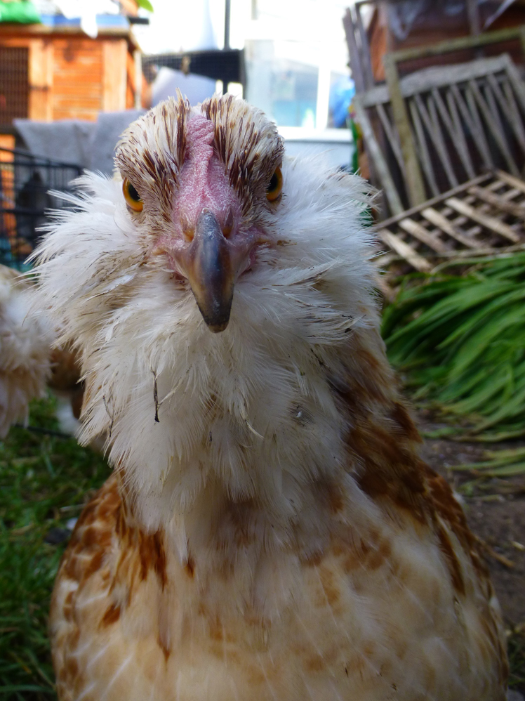 Faverolle For Sale Chickens Breed Information Omlet