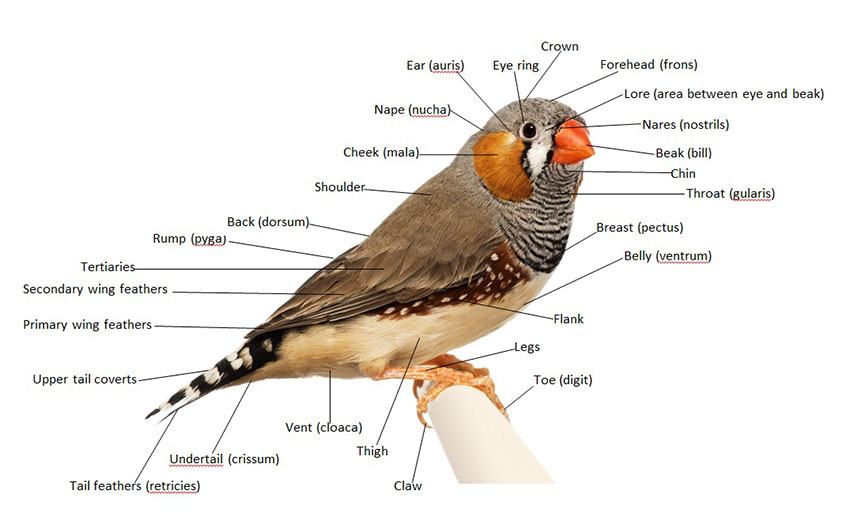 Male bird anatomy