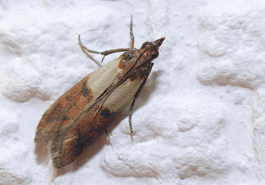 how to kill pantry moth eggs