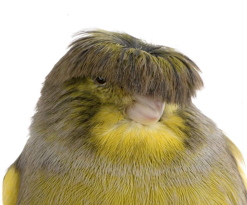 gloster-corona-canary