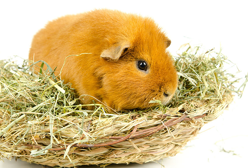 4 Live Guinea Pig Web Cams & Blog | Portland, Oregon USA