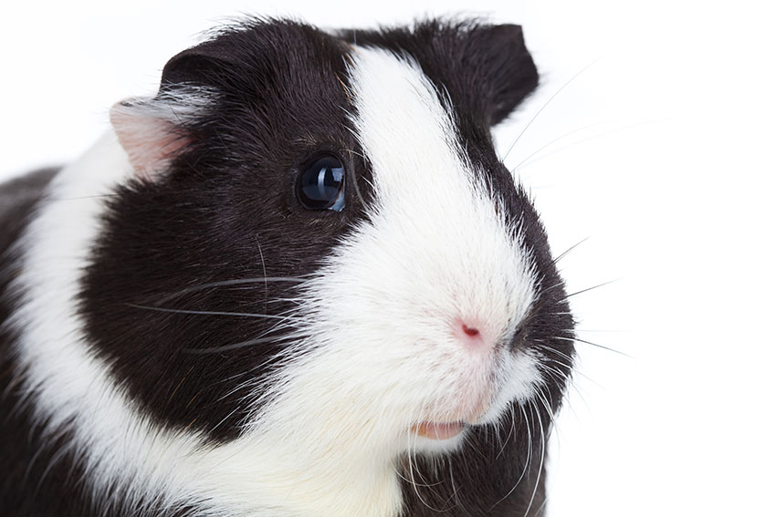 How to clean your guinea pigs eyes pig health