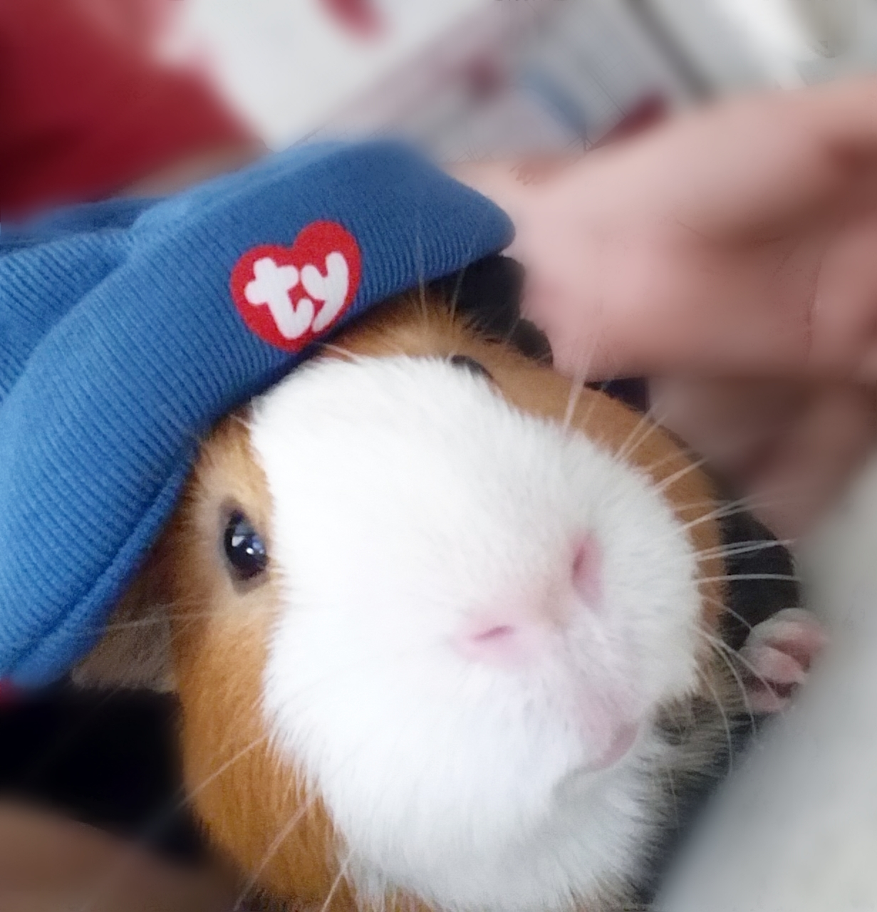 what are guinea pigs North star rescue - non-profit group dedicated to the welfare, rescue and adoption of domestic pet rodents adopt a pocket pet.