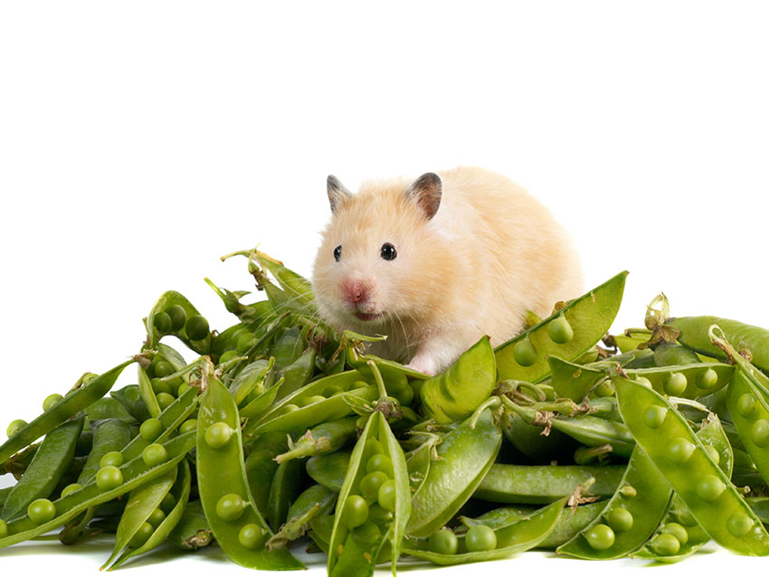 Best Hamster Food Uk