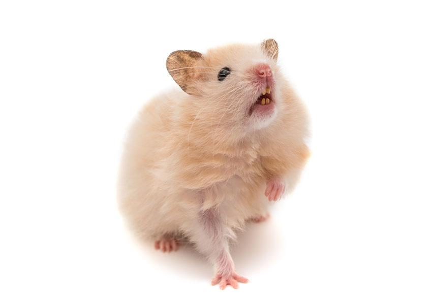 hamster healthy teeth hamster illnesses hamsters guide omlet uk. Black Bedroom Furniture Sets. Home Design Ideas