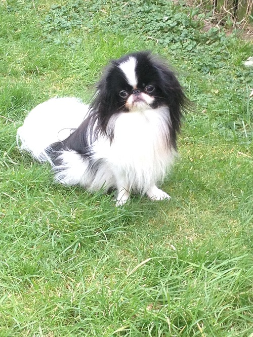 Japanese Chin | Dogs | Breed Information | Omlet