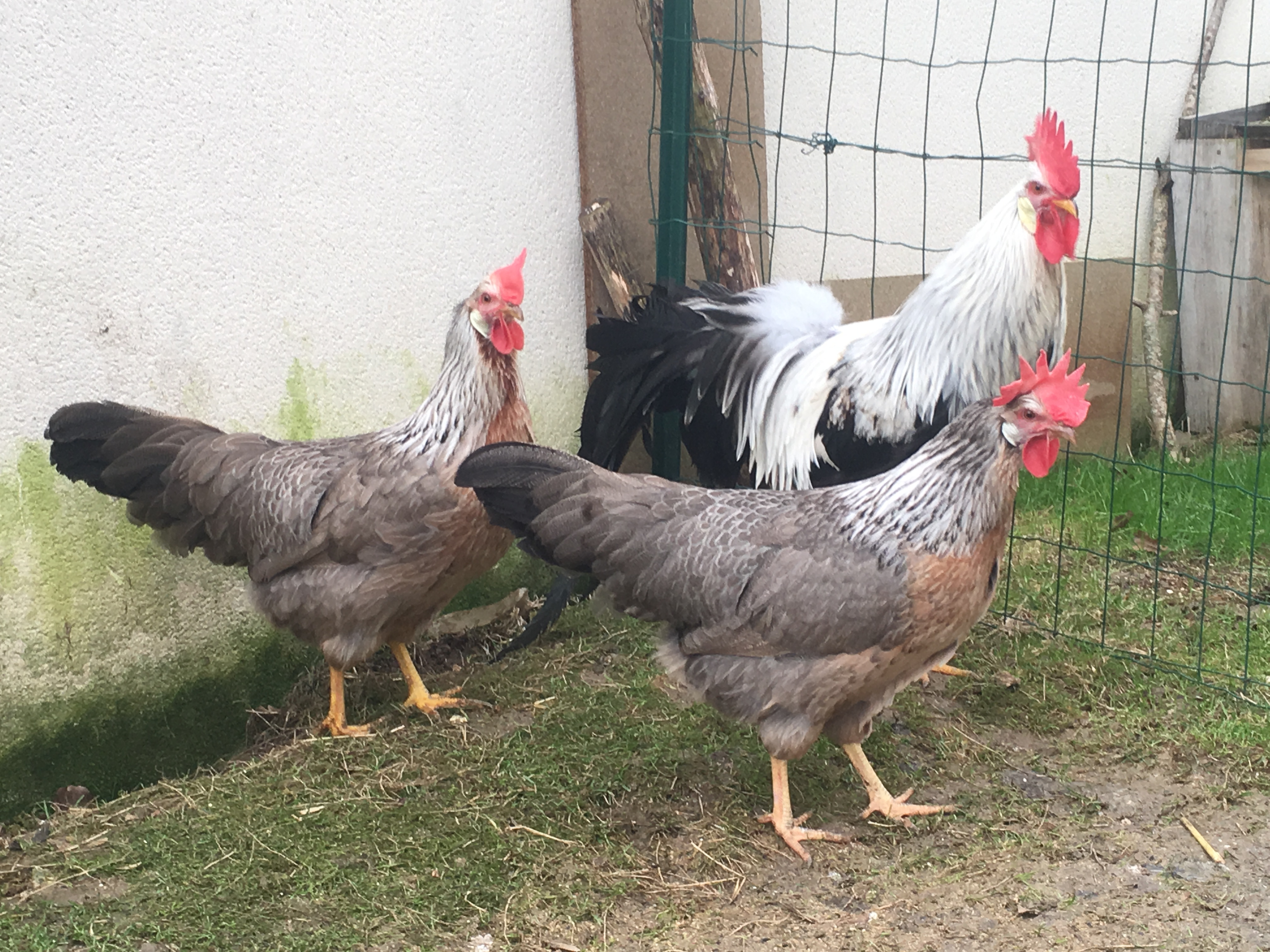 Leghorn For Sale | Chickens | Breed Information | Omlet