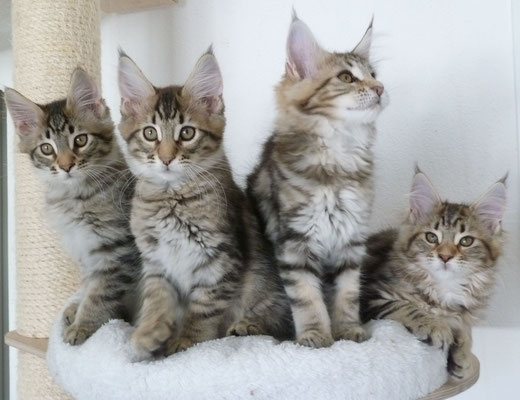 Maine Coon | Cats | Breed Information | Omlet