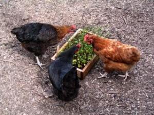 Chirstian Chicken Pictures