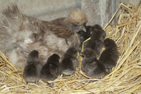 How To Naturally Incubate Chicken Eggs Incubation