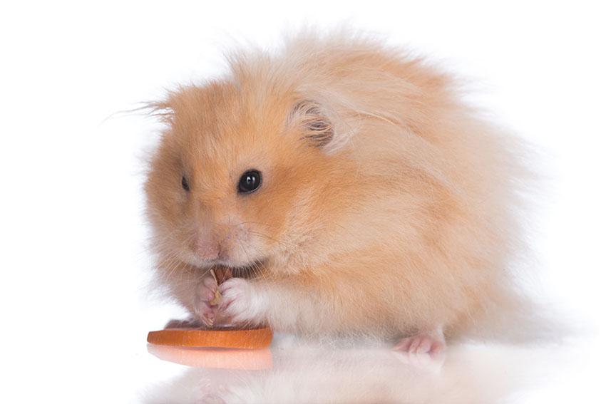 hamster illnesses in old age hamster illnesses hamsters guide omlet uk. Black Bedroom Furniture Sets. Home Design Ideas