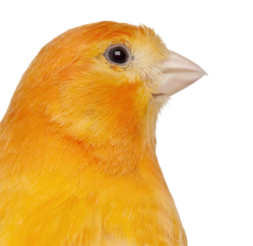 Canaries for sale - farm & garden - by owner - sale