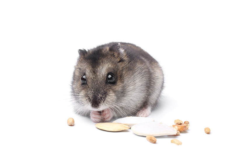 How Much Does It Cost To Care For A Hamster