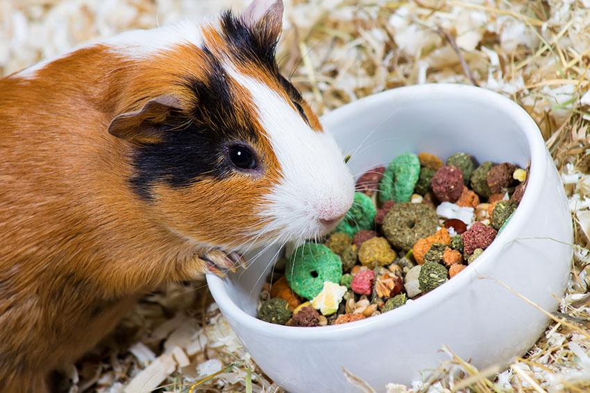 Корм морской свинки в домашних условиях