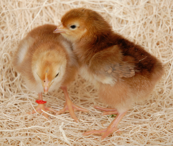 How to Sex Rhode Island Red Chicks