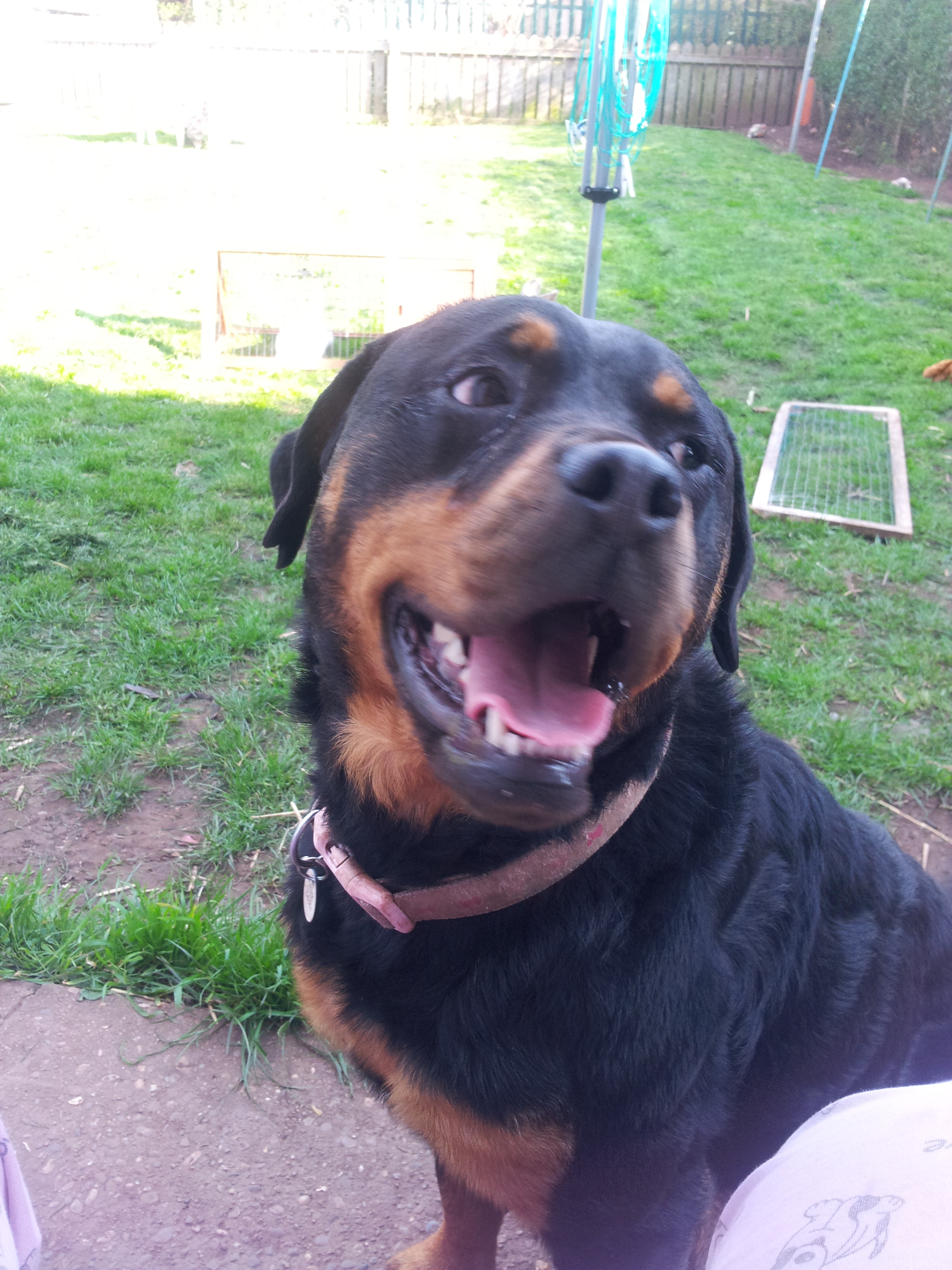 Rottweiler Dogs Breed Information Omlet