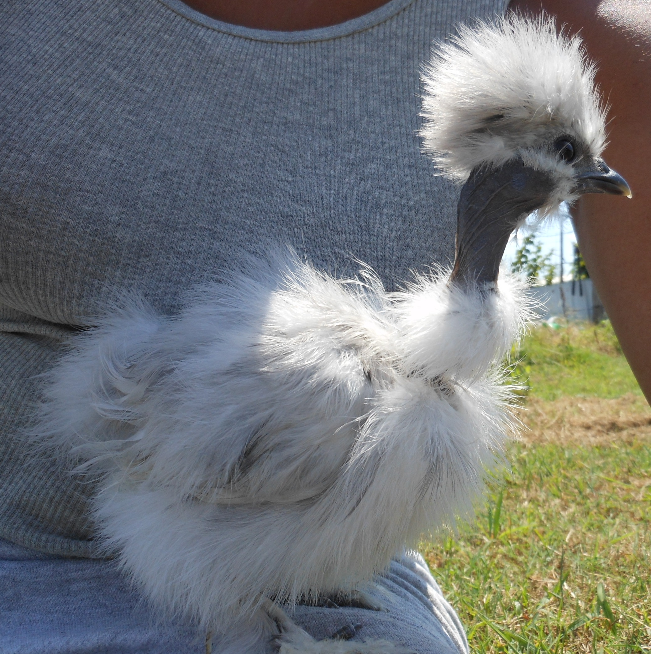Silkie Chicken All You Need To Know  The Happy Chicken Coop
