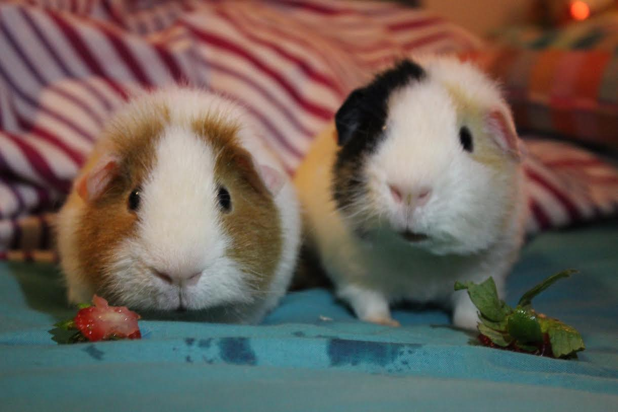 Teddy guinea pigs