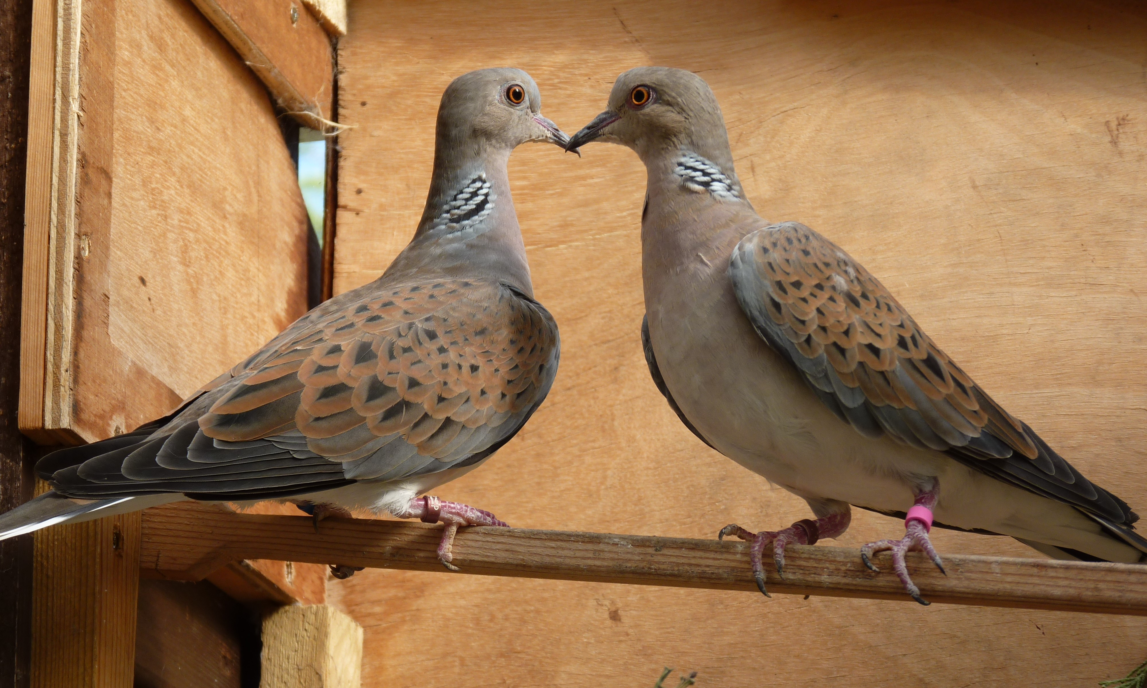Doves For Sale >> Turtle Dove Streptopelia Turtur For Sale Pigeons And Doves
