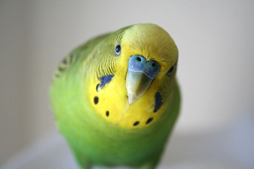 budgies are highly popular pets